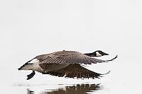 00748-05718 Canada Goose (Branta canadensis) in flight, Marion County, IL