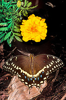 390450013 a captive palmedes swallowtail butterfly pterourus palmedes perches on a small dead log in a butterfly garden in southern california