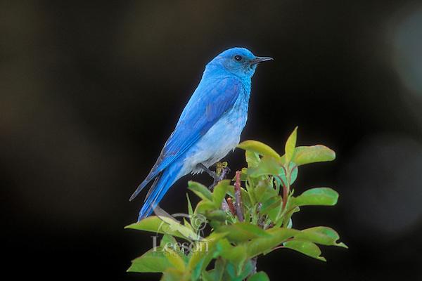Mountain Bluebird (Silia currucoides).  Yellowstone National Park, USA.