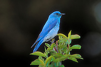 Mountain Bluebird (Silia currucoides).  Yellowstone National Park, USA.