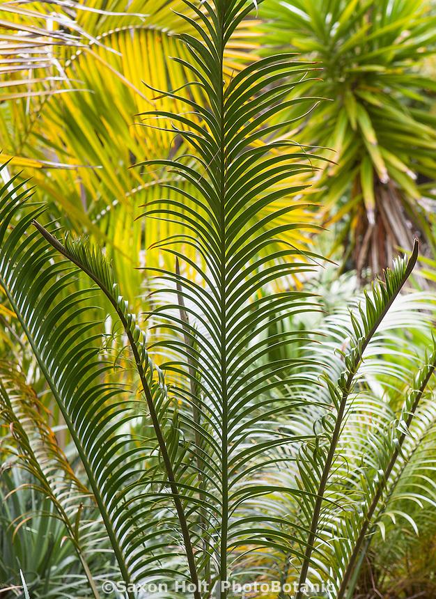 Cycad leaf foliage Scaly Zamia (Lepidozamia peroffskyana) in California garden