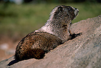 Young Hoary Marmot (Marmota caligata) basking on Rock in Sun, Manning Provincial Park, BC, British Columbia, Canada, Summer