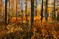 Aspen forest in autumn color<br /> Elk Island National Park<br /> Alberta<br /> Canada