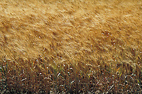 Mature golden brown wheat grains blowing in field.