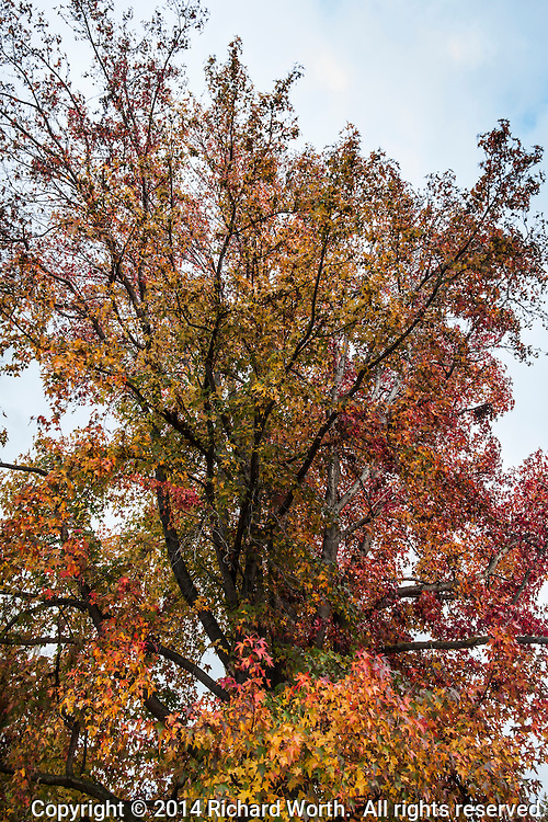 A Sweetgum tree in a neighborhood park is draped in autumn leaves of red, yellow and orange.