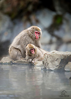 Snow Monkey mother takes a break from grooming her baby.  Junior looks intrigued by something in the distance.  Nagano, Japan.