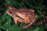 Gulf Coast Toad, Bufo valliceps, on forest floor, Belize