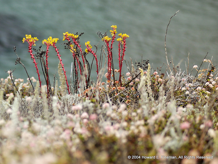 Point Lobos Flowers, California