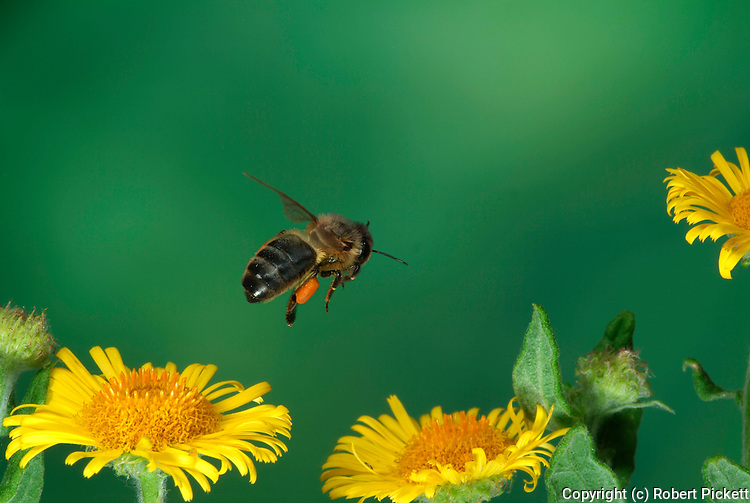 Honey Bee, Apis mellifera, in flight, flying over yellow fleabane flowers, high speed photographic technique, with pollen baskets attached to legs.United Kingdom....