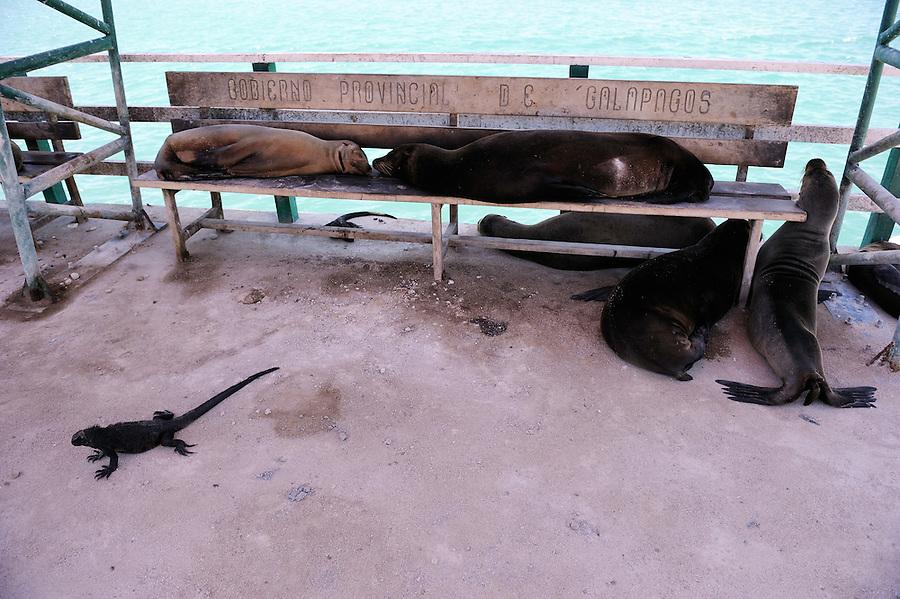Galapagos islands, Baltra, Marine Iguanas (Amblyrhynchus cristatus) and Sea Lions (Zalophus wollebaeki)