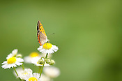 A butterfly attracting a mate on a daisy in early summer