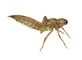 Brown Hawker - Aeshna grandis - dragonfly larva exuvia