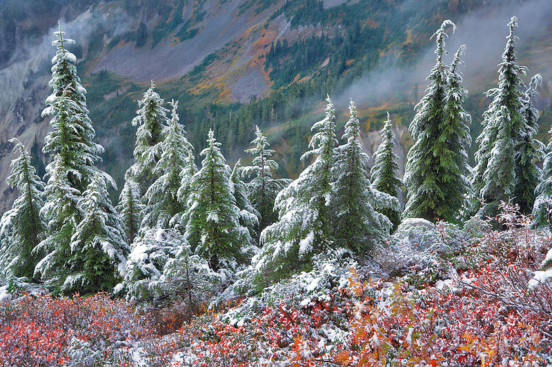 Hemlock trees with huckleberry in fall color and first snow of fall. Mt. Baker Wilderness. Washington