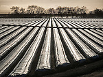 Plastic covered rows in strawberry fields, Salinas, Calif.