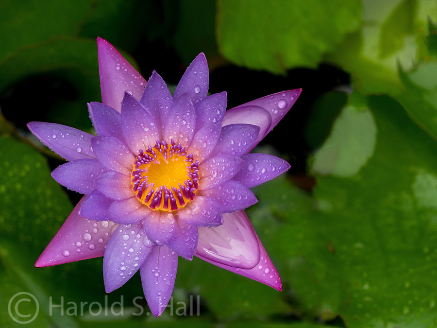 Purple lily after a tropical rain storm.