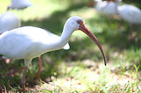 Ibis birds up close and personal