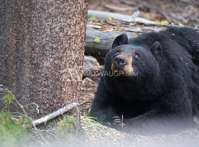 "The black bear sow nicknamed ""Rosie"" was seen frequently with her three yearling cubs throughout the spring.  Here, she keeps an eye on her cubs, which were napping in the tree above."