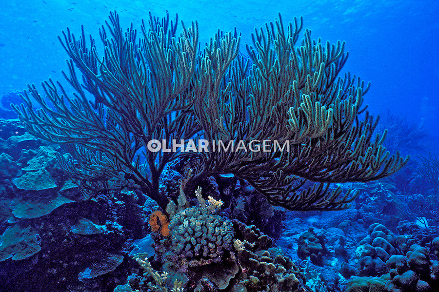 Coral mole em Bonaire, Caribe. Foto de Maristela Colucci.