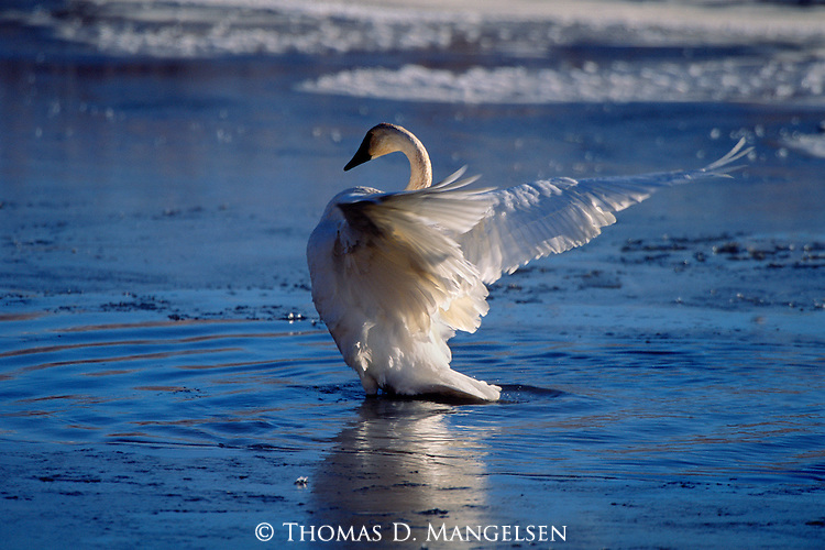 With winter temperatures dropping by the hour, a trumpeter swan flaps its wings vigorously after preening, an act which straightens its feathers for maximum insulation against the cold.