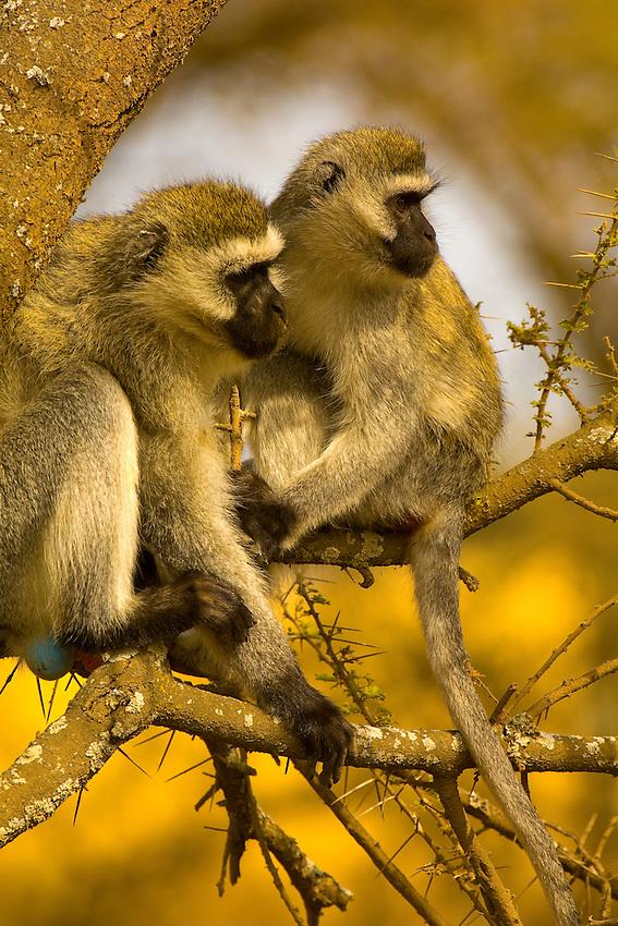 Vervet monkeys, Serengeti National Park, Tanzania