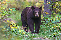 Female Black Bear on a trail in Riding Mountain National Park