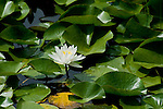 Single water lily among the green leaves floating on Gamlin Lake in Northern Idaho