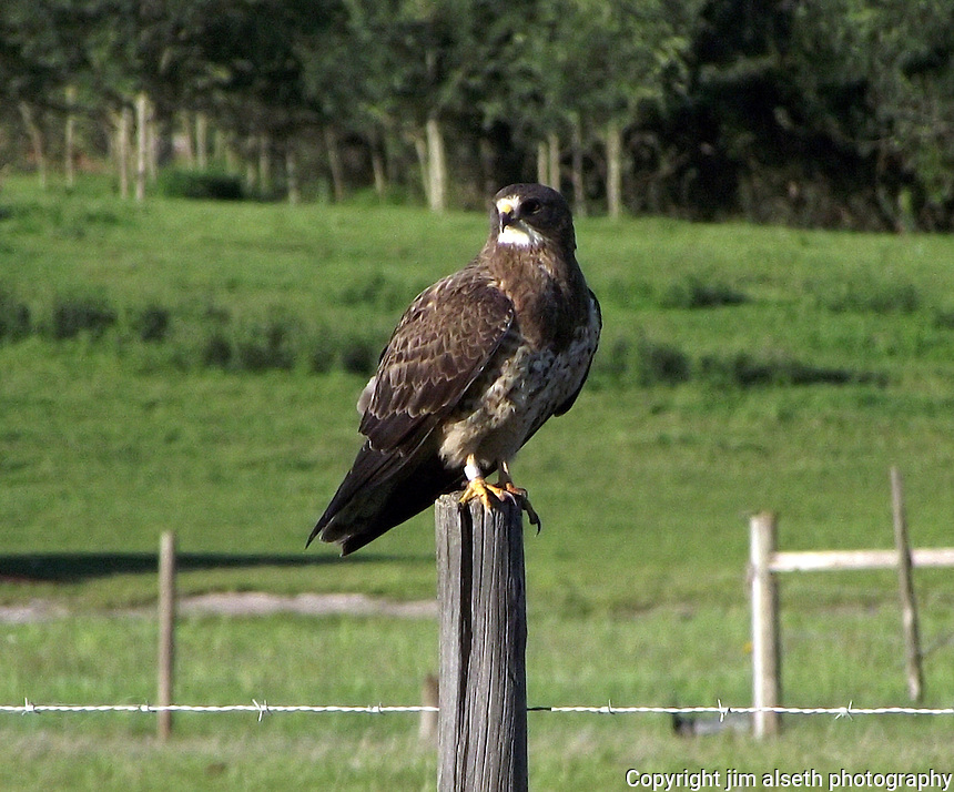 This Swainsons Hawk was doing what they love to do: resting on a post, off a quiet highway near Tofield, Alberta.