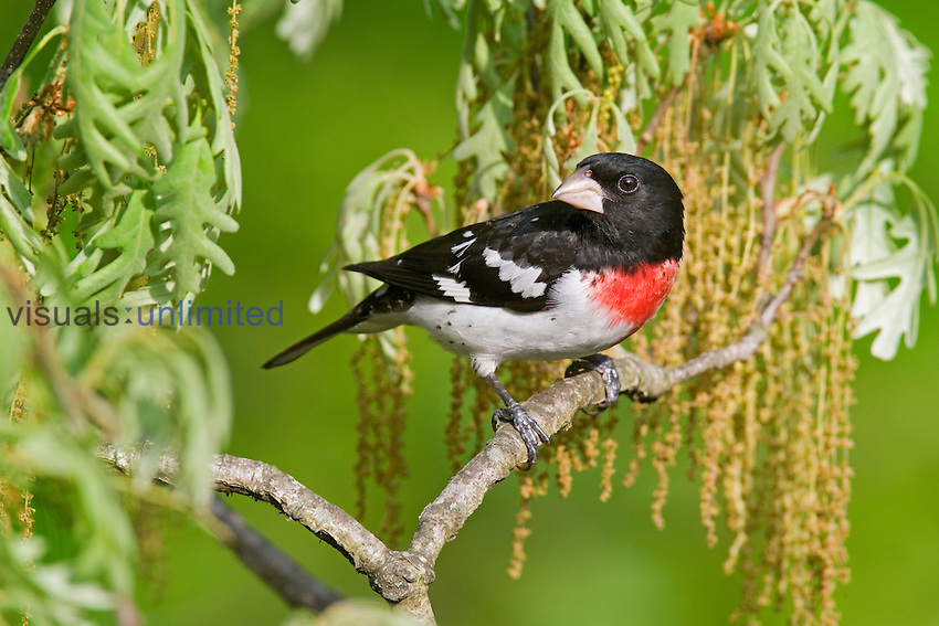 Male Rose-breasted Grosbeak (Pheucticus ludovicianus) in a spring Oak tree, Eastern USA.