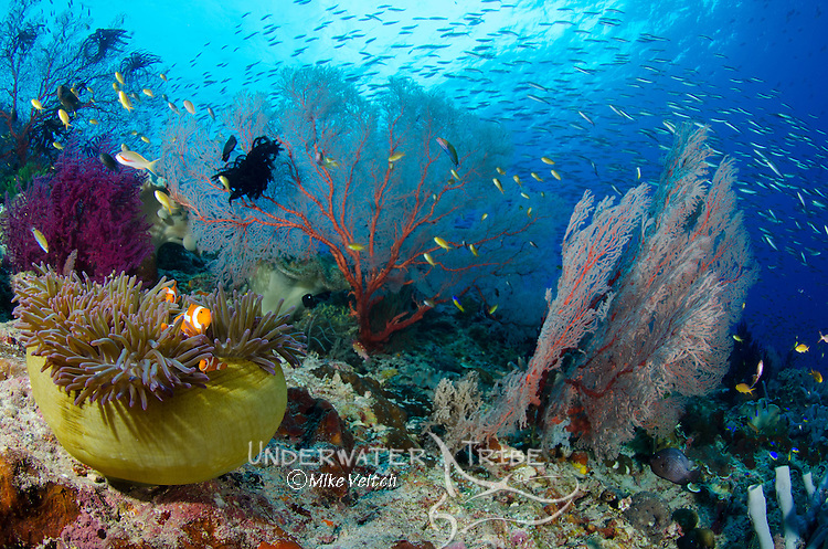 Anemone and anemone fish with red seafans and schooling fusiliers, Misool, Raja Ampat, Indonesia, Pacific Ocean