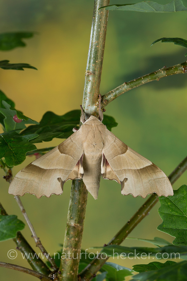 Eichenschwärmer, Eichen-Schwärmer, Marumba quercus, Oak Hawk-moth, Oak Hawkmoth, Le Sphinx du chêne, Schwärmer, Sphingidae, hawkmoths, hawk moths, sphinx moths
