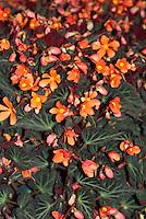 Begonia Glowing Embers