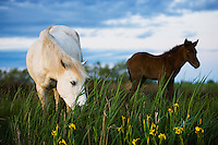 White Camargue horse, mother with foal, Camargue, France