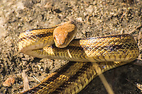 """One of my favorite snakes to be found in the wilderness of the American Southeast is the Florida yellow rat snake. This very long, mustard-yellow colored subspecies of the western rat snake is not very common, like most gray or near-black rat snakes found in the wild, but it is one of the coolest. I have an affinity for this type of snake and once had one as a pet in captivity for years until I decided to let it go free and """"go forth and propagate"""". These non-venomous constrictors primarily feed on rats and birds, although their habit of sneaking into barns and eating eggs has also earned them the nickname of """"chicken snake"""". This one was found by surprise on accident (as most snakes are usually encountered) as I was walking through the edge of the woods in the Ocala National Forest  in Juniper Springs when the tree limb I grabbed suddenly moved in my hand and tried to bite me. I pulled this beauty out into the open for this shot and let it go. It was just about four feet in length and was fat and healthy!"""
