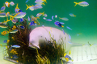 various reef fish and dugong, Dugong dugong, feeding on seagrass (c), Indo-Pacific Ocean