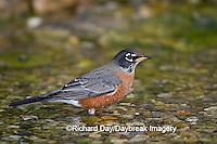 01382-049.07 American Robin (Turdus migratorius) bathing, Marion Co. IL