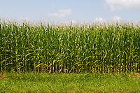 Corn Field Ontario Canada