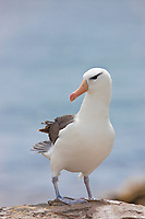 "Black-browed albatross has a 79-94"" wingspan and a natural lifespan exceeding 70 years. New Island, Falkland Islands"