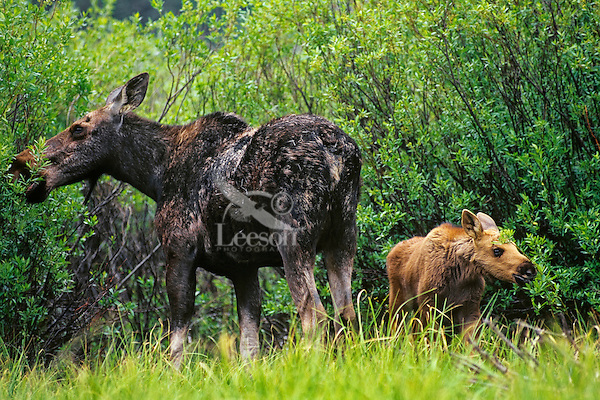 Cow and calf moose (Alces alces) browsing in willows.  Western U.S., June.