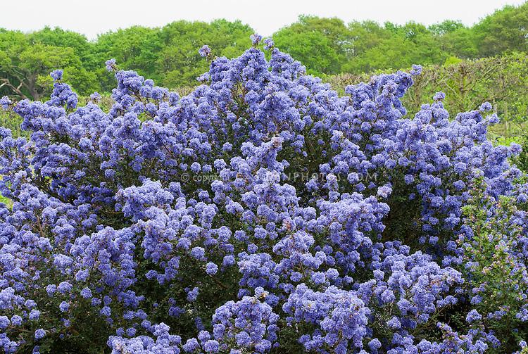 Ceanothus 'Puget Blue', impressus hybrid blue flowering California lilac shrub