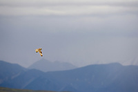 Short-eared owl in flight, Denali National Park, Alaska