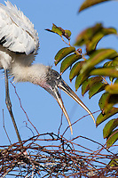 Wood Stork,Mycteria americana, nest building,Everglades National Park, Florida