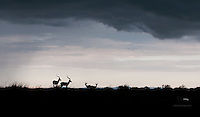 Two pairs of impala brace for evening storm, Masai Mara, Kenya.