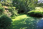 Pond weed eutrophication River Deben, Brandeston, Suffolk, England, UK