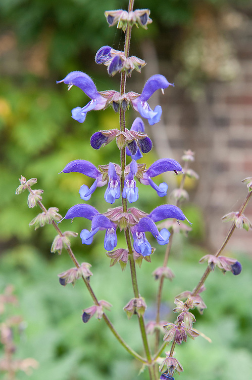 Meadow clary (Salvia transsylvanica), mid October.