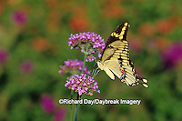 03017-00316 Giant Swallowtail (Papilio cresphontes) on Verbena Bonariensis, Marion Co.  IL