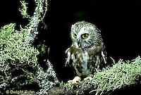 OW02-389z  Saw-whet owl - Aegolius acadicus..