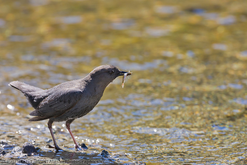American dipper (Water weasel) aquatic passerine fishes for food for a brood of three chicks.