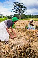 Dambulla, Sri Lankan women working in wheat fields just outside Dambulla, Central Province, Sri Lanka, Asia. This is a photo of Sri Lankan women working in wheat fields just outside Dambulla, Central Province, Sri Lanka, Asia.