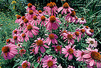 Purple coneflower (Echinacea purpurea). Virginia.