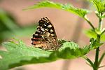 Speckled Wood Butterfly, Pararge aegeria, Denge Woods, KENT UK, underside of wings